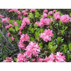 Mielbio.fr Fleurs de Rhododendron sauvage