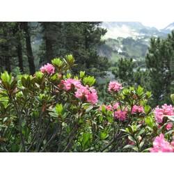 Mielbio.fr Rhododendron dans les Hautes Pyrénées, endroit de la récolte du miel
