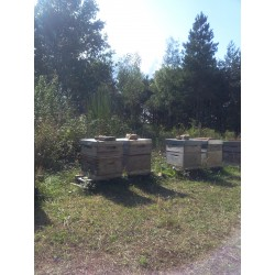 Nos ruches dans le Forêt de Planal, Aude (11)